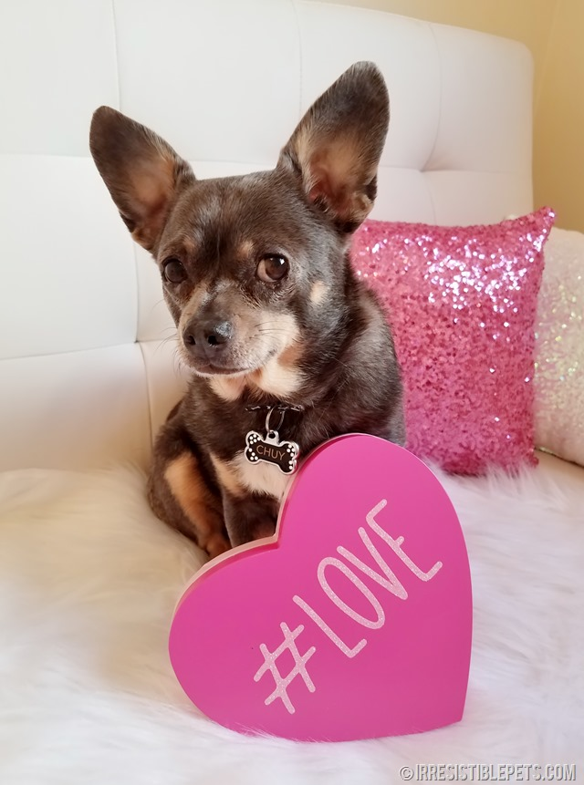 Share the Love with Chuy Chihuahua (9)