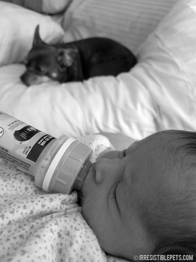 Chuy Chihuahua and Newborn Baby