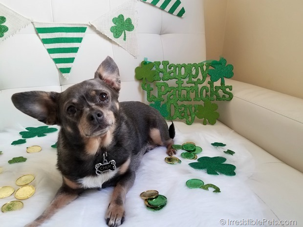 St Patrick's Day Chuy Chihuahua (6)