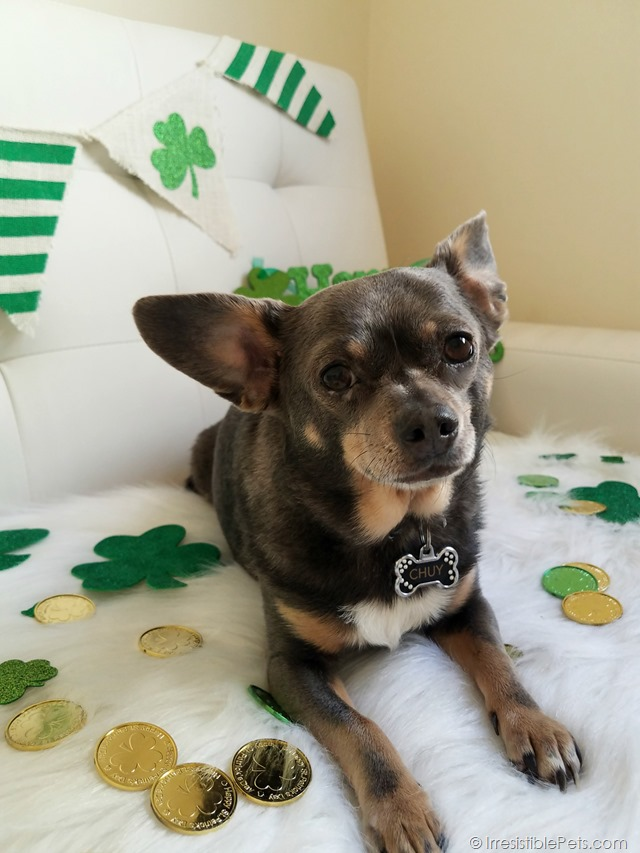 St Patrick's Day Chuy Chihuahua (8)