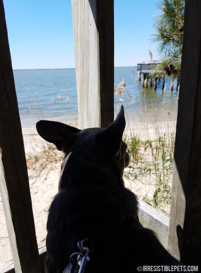 Chuy Chihuahua Newport News (3)