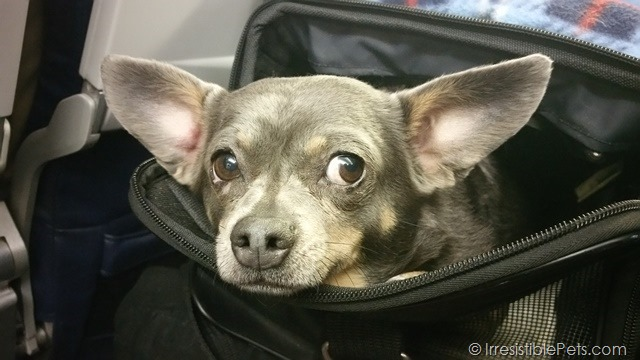 Air Travel with Chuy Chihuahua