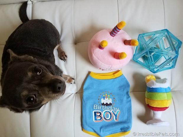 Chuy Chihuahua Birthday 2017 (7)