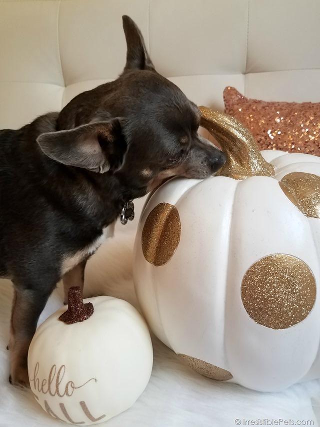 Chuy Chihuahua Hello Fall (13)