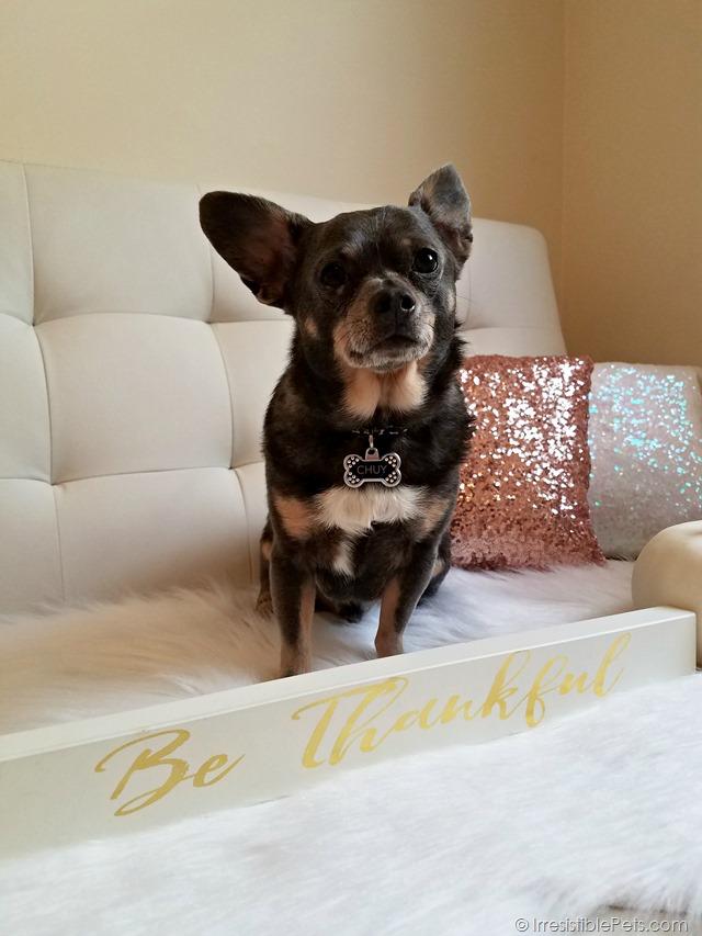 Chuy Chihuahua Hello Fall (9)
