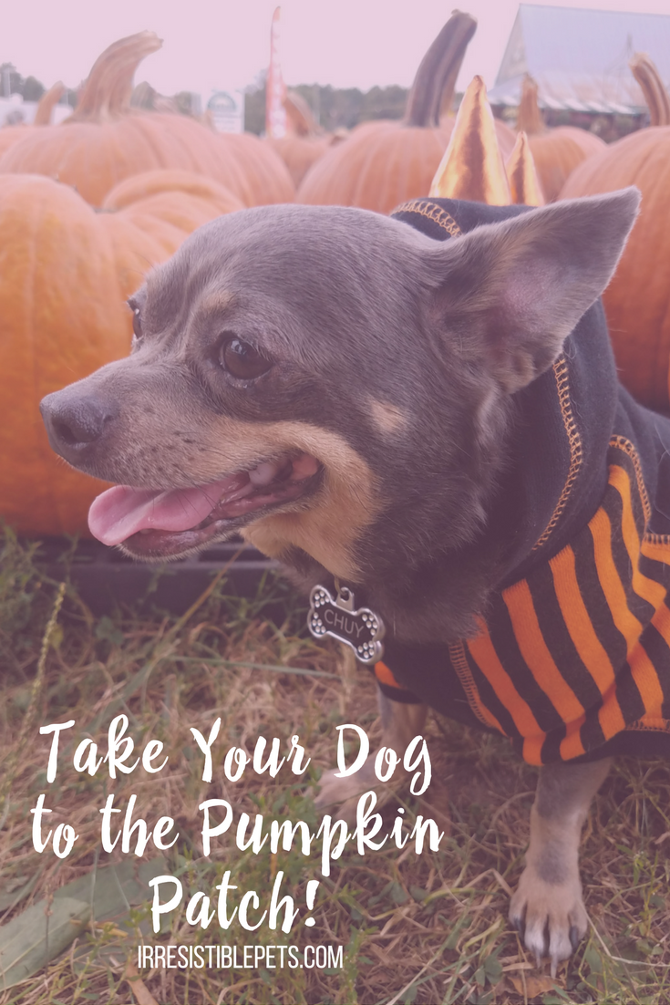 How To Take Your Dog to the Pumpkin Patch