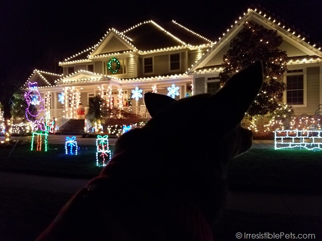 Chuy Chihuahua Christmas Lights 2