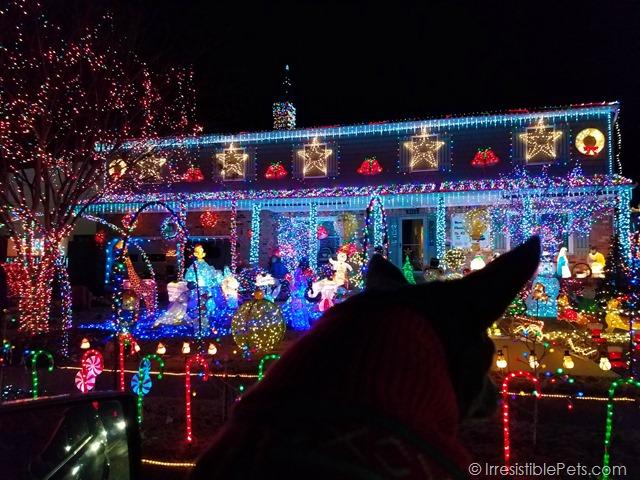 Chuy Chihuahua Christmas Lights