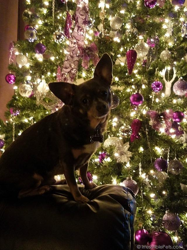 Chuy Chihuahua Christmas Tree