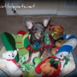Wordless Wednesday – Spoiled Chihuahua!