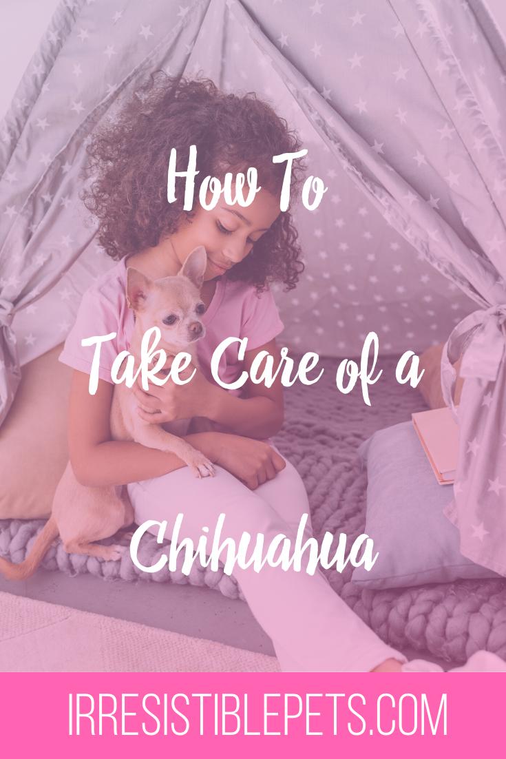 Chihuahua Care Tips