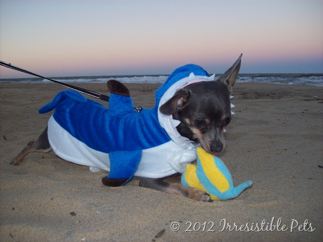 Chuy Chihuahua