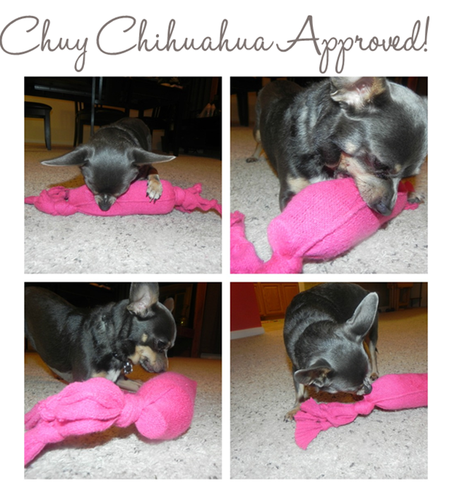 Chuy Chihuahua Approved