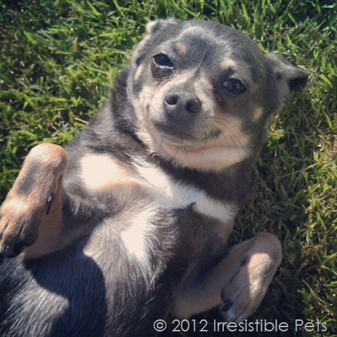 chuy chihuahua wordless wednesday 2
