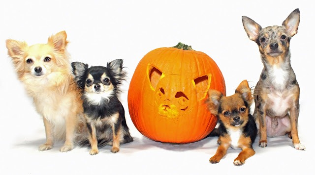 obsessive chihuahua disorder pumpkin carving