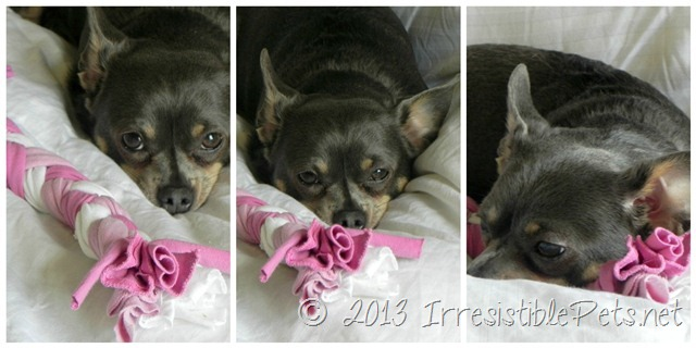DIY Valentines Day Dog Rope Toy - Chuy Chihuahua Napping