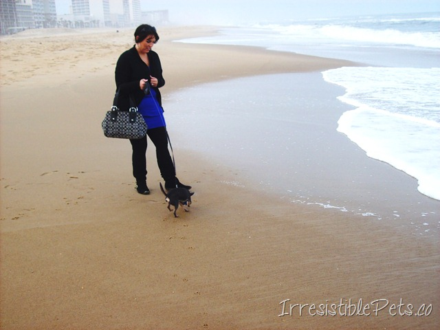 Chuy Chihuahua - Walk at the Beach