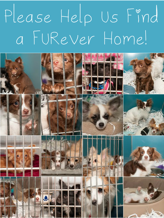 25 Chihuahuas Need Help Finding a Foster Home in Virginia Beach