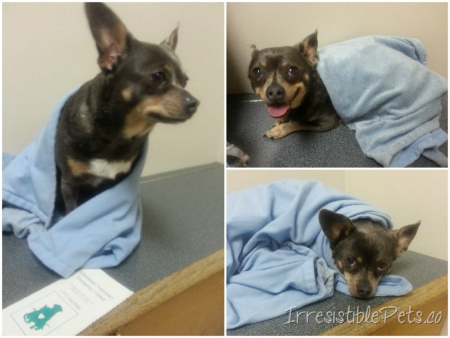 Chuy Chihuahua at the Animal ER