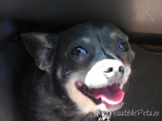 Blue Chihuahua Pics