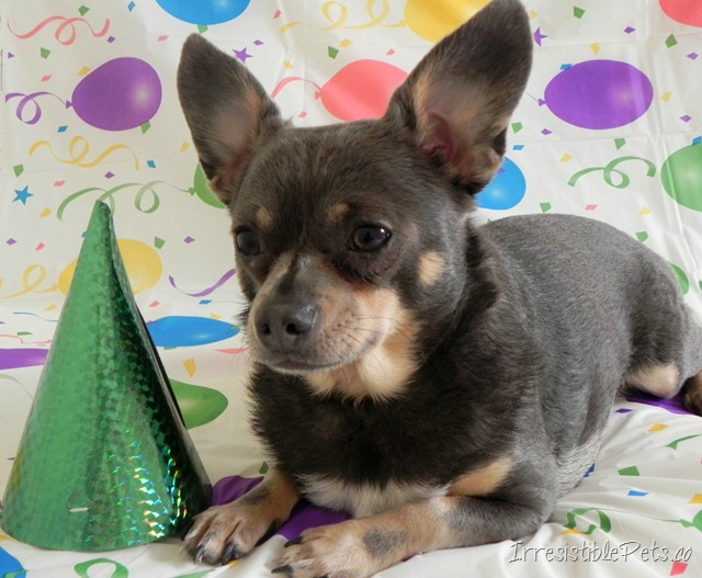 Chuy Chihuahua Fourth Birthday via Irresistible Pets