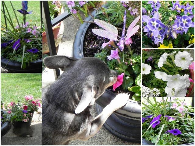 Chuy Chihuahua Flowers