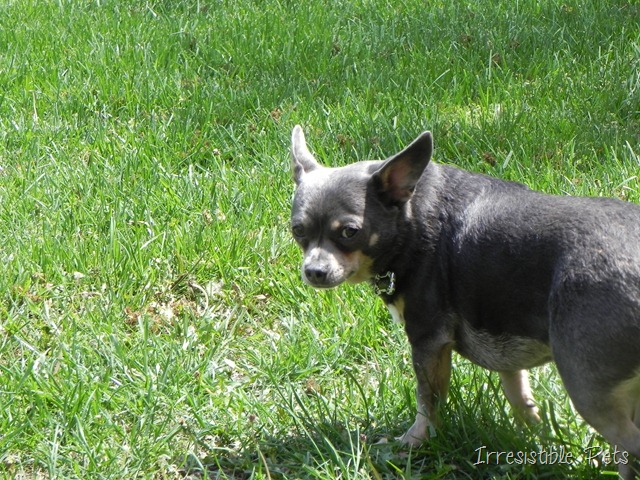 Chuy Chihuahua Flower Child