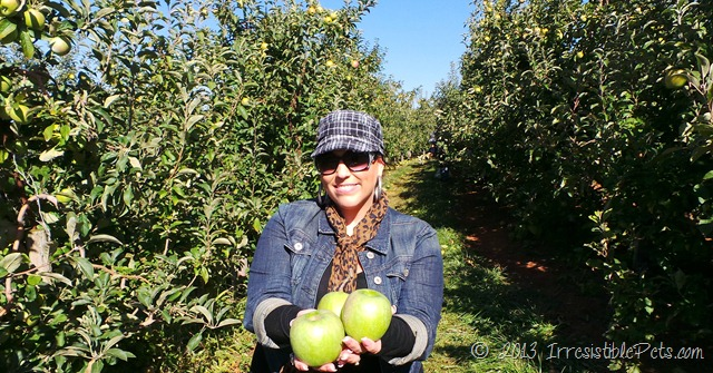 Apple Picking at Carter Mountain Orchard via IrresistiblePets.com