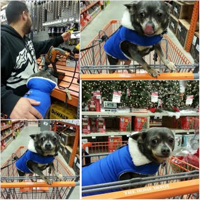 Chuy Chihuahua at The Home Depot