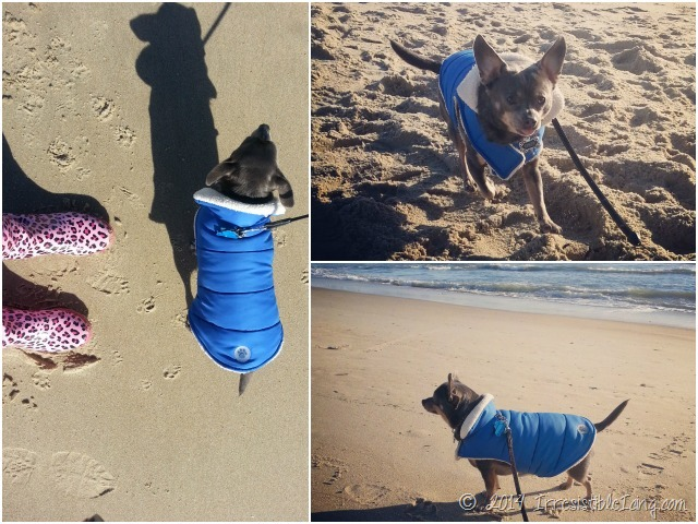 Cape Hatteras Chuy Chihuahua Collage