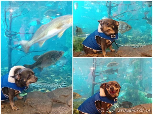 Chuy Chihuahua Bass Pro Aquarium