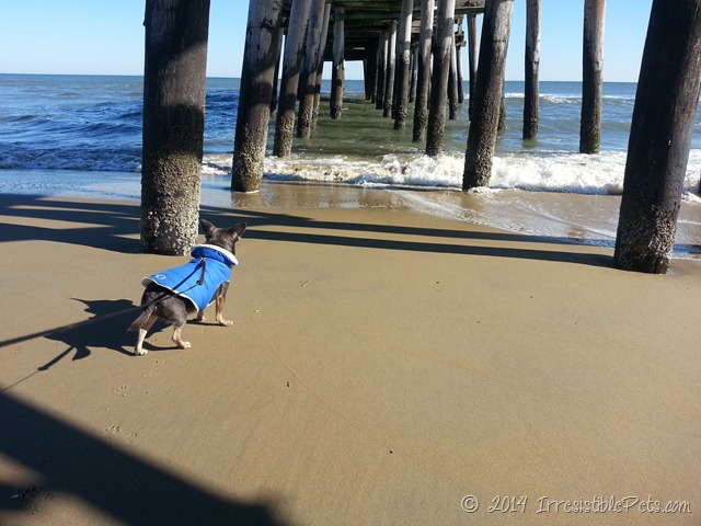 Chuy Chihuahua Under the Pier