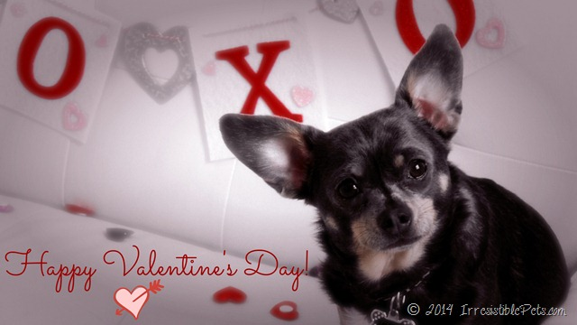 Happy Valentine's Day from Chuy Chihuahua 1