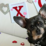Happy Valentine's Day from Chuy Chihuahua!