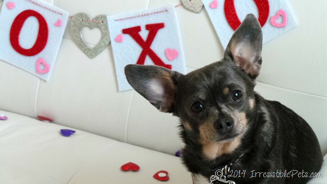 Happy Valentine's Day from Chuy Chihuahua 2