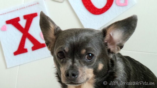 Happy Valentine's Day from Chuy Chihuahua 4