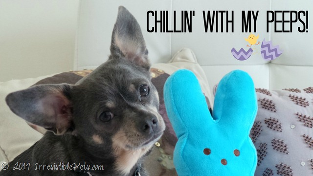 Chuy Chihuahua Chillin' with My Peeps!