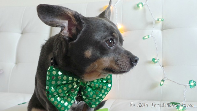 Chuy Chihuahua St Patrick's Day 2014 3