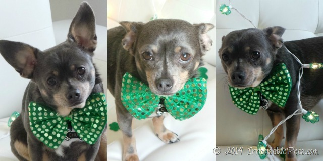 Chuy Chihuahua St Patrick's Day 2014 6