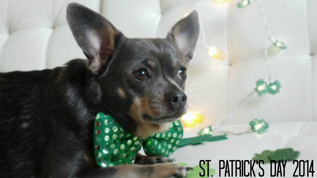 Chuy Chihuahua St Patrick's Day 2014
