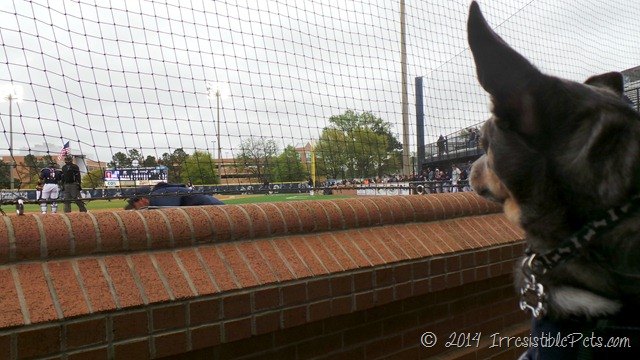 ODU Bark in the Park with Chuy Chihuahua