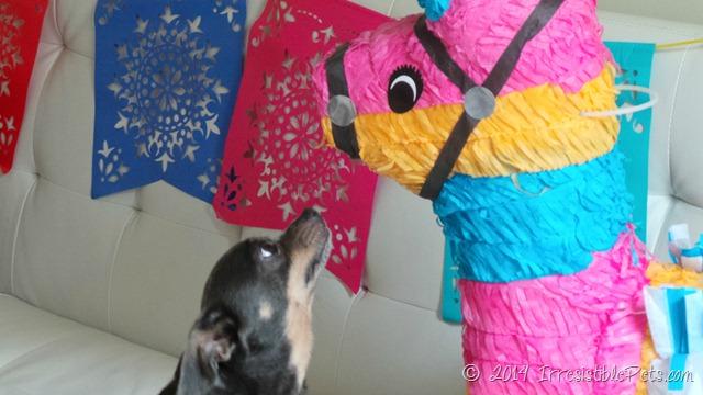Feliz Cinco de Mayo from Chuy Chihuahua