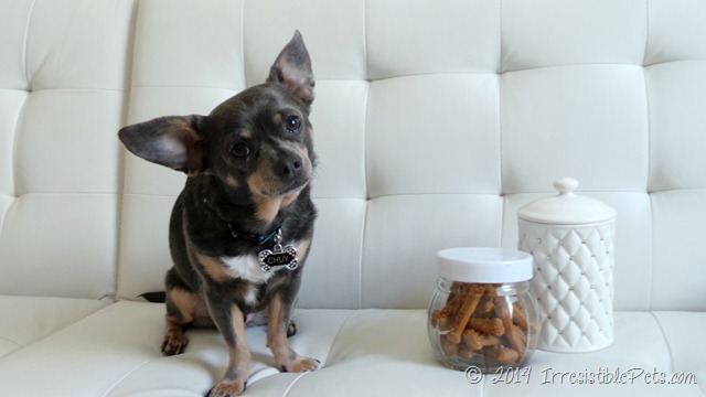 DIY Oral Care for Dogs with #MilkBone Brushing Chews by Chuy Chihuahua