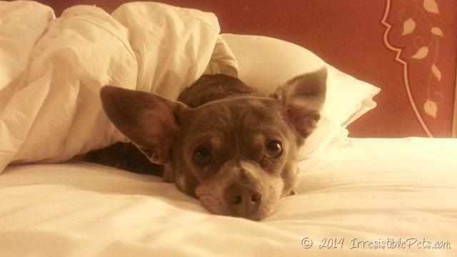 Chuy Chihuahua Around BlogPaws Lake Las Vegas