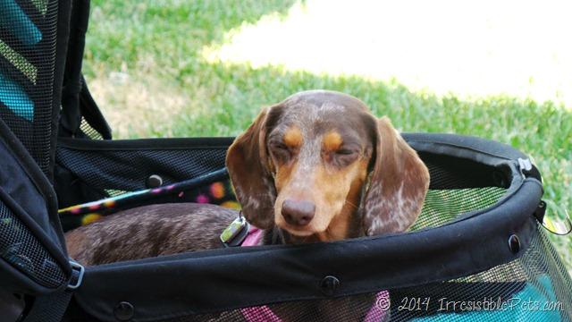 Irresistible Pets Around BlogPaws at the Westin Lake Las Vegas
