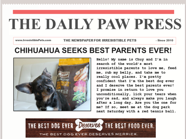 Chuy Chihuahua Seeking Best Parents Ever #BestDogEver