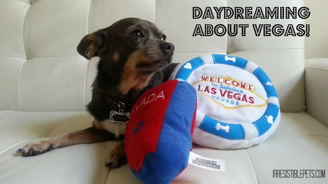 Daydreaming About Vegas - Chuy Chihuahua