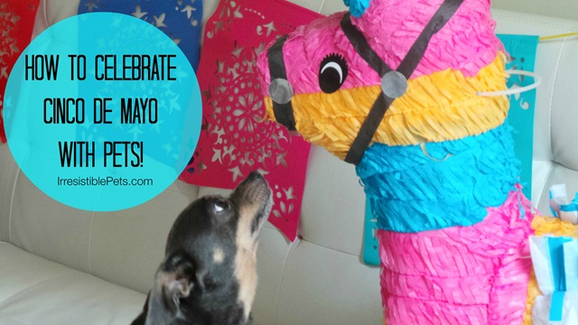 How-To-Celebrate-Cinco-de-Mayo-with-Pets-at-IrresistiblePets.com_thumb.jpg