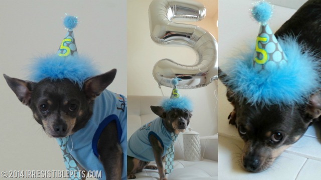 Chuy Chihuahua 5th Birthday June 22 2014