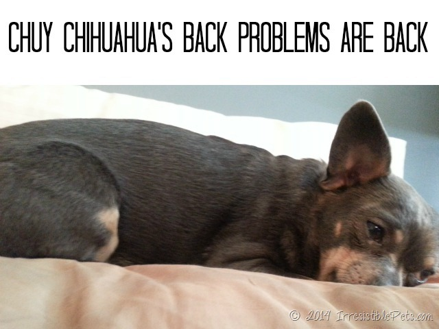Dealing with Back Problems in a Chihuahua - IrresistiblePets.com
